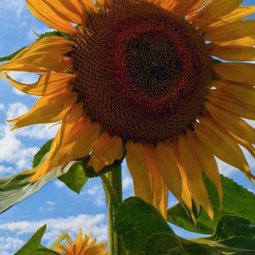 Ondra li sunflowers 2861364 1280a oj9z21qw2bmq2zgmu9hafui1yx919spz7qredbttag
